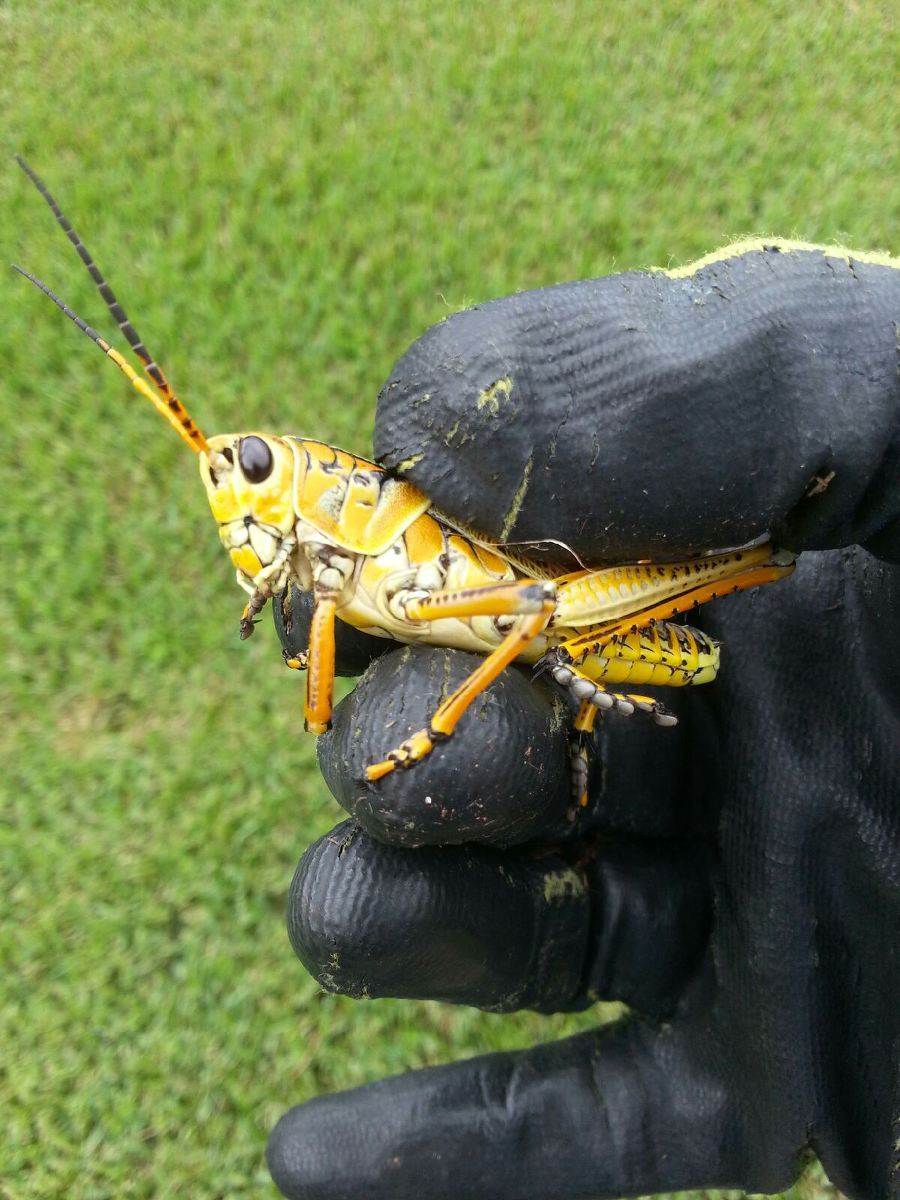 Southern Lubber Grasshopper will eat queen emma and crinum lilies